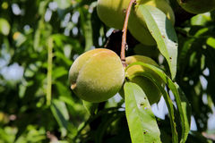 Pêssegos verdes que penduram no ramo com folhas verdes Imagem de Stock Royalty Free