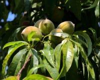 Pêssegos verdes que penduram no ramo com folhas verdes Fotografia de Stock