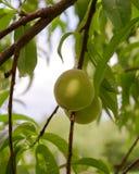 Pêssegos verdes que penduram no ramo com folhas verdes em um garde Imagens de Stock Royalty Free