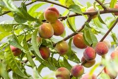 Pêssegos vermelhos e amarelos maduros no ramo Imagens de Stock