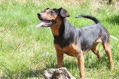 Píďa. Happy dog Pida on a trip in a czech forrest Royalty Free Stock Photo