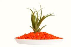 Píldoras y planta verde anaranjadas aisladas Foto de archivo libre de regalías
