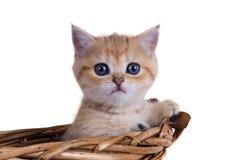 Píos sombreados de oro del shorthair del color británico del gatito fuera de los vagos Fotos de archivo