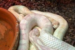 Píton Albina Python molurus bivitattus stock photography