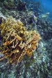 Półkowy Pożarniczy koral - Roatan Obraz Stock