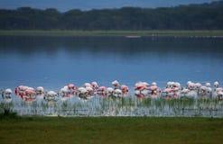półmrok flamingi obraz royalty free