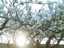 Półmrok między migdałowymi drzewami zdjęcia royalty free