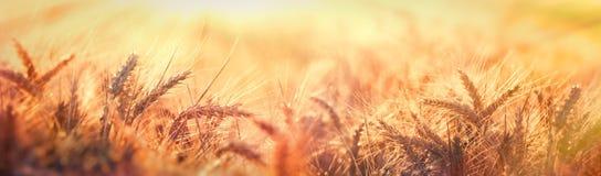 Półmrok w pszenicznym polu, piękny pszeniczny pole w późnym popołudniu zaświecał światłem słonecznym zdjęcie stock
