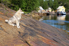 Północ Rosja, wybrzeże Biały morze Skalisty Podpalany Fjord I Biały Syberyjski husky Przeciw tłu skały, Denni naczynia I F, Obrazy Stock