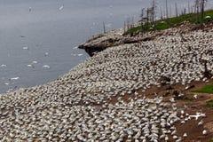 Północna gannet kolonia na Bonaventure wyspie obrazy stock