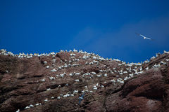 Północna gannet kolonia na Bonaventure wyspie zdjęcia stock