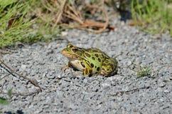 Północna lampart żaba zdjęcie royalty free