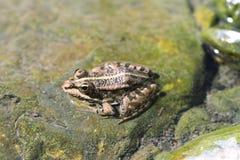 Północna lampart żaba (Lithobates pipiens) zdjęcie stock