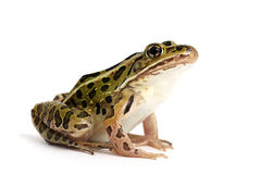 Północna lampart żaba (Lithobates pipiens) fotografia royalty free