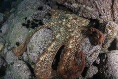 Północna pokojowa gigantyczna ośmiornica camouglaged podwodny Obraz Royalty Free