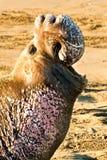 północna słoń foka zdjęcie royalty free