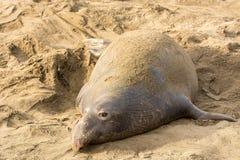 Północne słoń foki (Mirounga angustirostris) Obraz Royalty Free