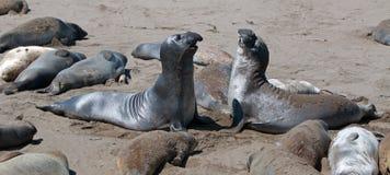 Północne słoń foki walczy przy Piedras Blancas słonia foki kolonią na Środkowym wybrzeżu Kalifornia Zdjęcia Royalty Free
