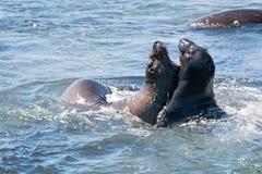 Północne słoń foki walczy w Pacyfik przy Piedras Blancas słonia foki rookery na Środkowym wybrzeżu Kalifornia Obrazy Stock
