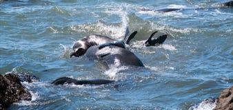 Północne słoń foki walczy w Pacyfik przy Piedras Blancas słonia foki rookery na Środkowym wybrzeżu Kalifornia Obraz Stock