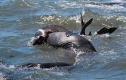 Północne słoń foki walczy w Pacyfik przy Piedras Blancas słonia foki rookery na Środkowym wybrzeżu Kalifornia Obraz Royalty Free