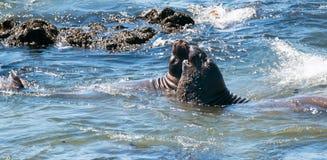 Północne słoń foki walczy w Pacyfik przy Piedras Blancas słonia foki rookery na Środkowym wybrzeżu Kalifornia Zdjęcia Royalty Free