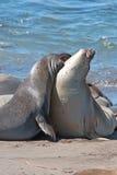 Północne słoń foki walczy w Pacyfik przy Piedras Blancas słonia foki rookery na Środkowym wybrzeżu Kalifornia Fotografia Stock
