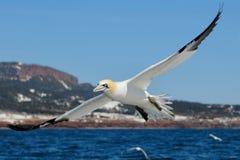 Północnego Gannet latania otwarci skrzydła Zdjęcia Stock