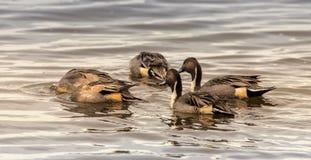Północnego Pintail kaczki kiwa dla jedzenia obrazy stock