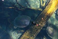 Północnego rzecznego terrapin żółwia Batagur nazwany bask Obraz Stock