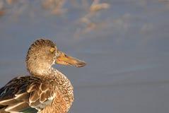 Północnego Shoveler kaczka Zdjęcie Royalty Free
