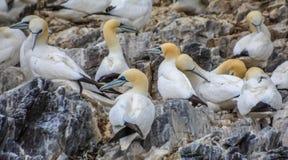 Północni gannets Morus bassanus seabirds przy bas skałą, świat wielka północny Gannets kolonia Północny Berwick Szkocja UK obraz stock