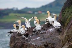 Północni gannets w lęgowej koloni przy falezami bas skała, Scotl obraz stock