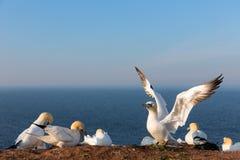 Północni gannets w lęgowej koloni przy falezami islan Helgoland Obrazy Royalty Free