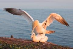 Północni gannets w lęgowej koloni przy falezami niemiec Helgolan Zdjęcie Royalty Free