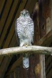 Północni jastrzębia Accipiter gentilis Obraz Stock