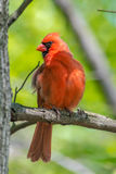 Północni kardynały Zdjęcie Royalty Free