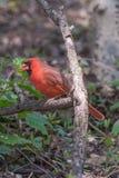 Północni kardynały Zdjęcia Stock