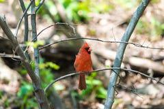 Północni kardynały Fotografia Royalty Free