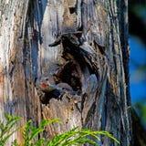 Północni migotań kurczątka w gniazdeczku zdjęcie royalty free