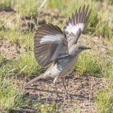 Północni Mockingbird skrzydła Rozciągający W pełni obrazy royalty free