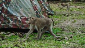 Północni ogoniaści makaki zdjęcie wideo