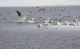 Północnoamerykańscy pelikany Zdjęcie Stock