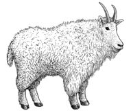 Północnoamerykańscy zwierzęta kolekcje, ilustracja, rysunek, rytownictwo, atrament, kreskowa sztuka, vectorMountain koźlia ilustr royalty ilustracja