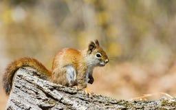 Północnoamerykańska czerwona wiewiórka Zdjęcie Stock