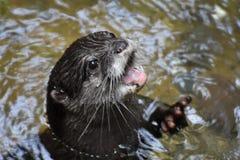 Północnoamerykańska Rzeczna wydra Pokazuje Daleko Jego zęby Obraz Stock