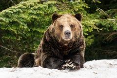 Północnoamerykański grizzly niedźwiedź w śniegu w Zachodnim Kanada Obrazy Royalty Free