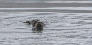 Północnoamerykański rzecznych wydr Lontra canadensis dopłynięcie i połów w dzikim Zdjęcie Royalty Free