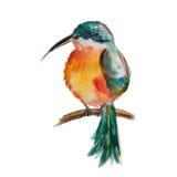 Północnoamerykański Throated hummingbird ilustracji