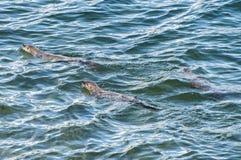 Północnoamerykańskie rzeczne wydry Obraz Stock